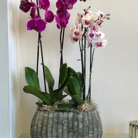 Orchid Plant A